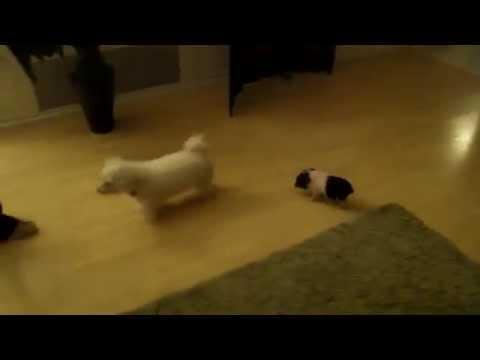 Cute Piglet Likes To Follow The Dog Around