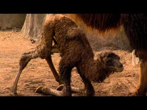 Baby Camel Takes First Step