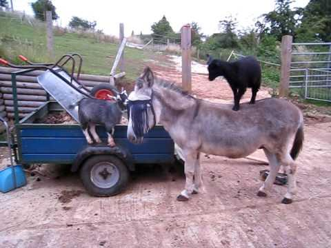 Goats Have Fun Playing On Top Of The Donkey