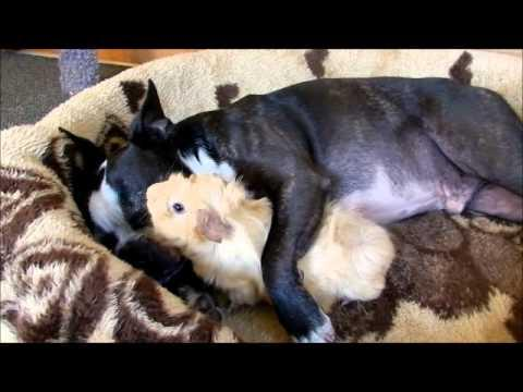Cute - Guinea Pig In Love With Boston Terrier