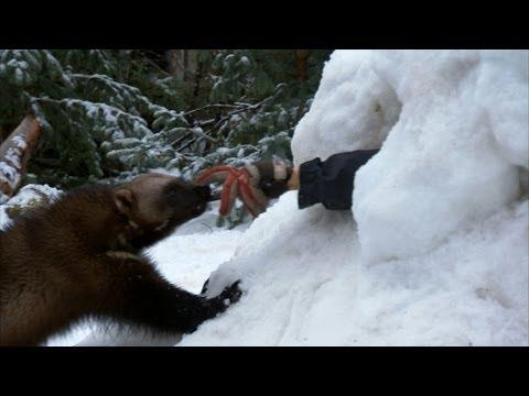 Amazing - Wolverine Used As Rescue Animal