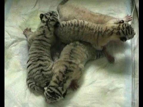 Cute - White Tiger Cubs