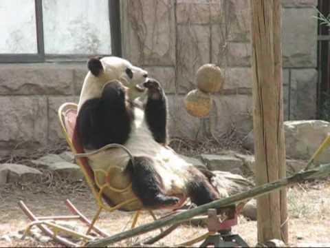 Cute - Panda Rocks On The Rocking Chair