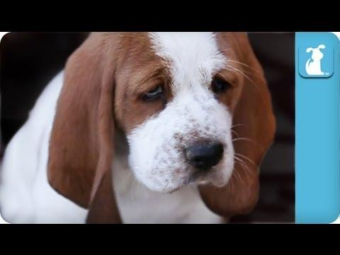 Cute - Cute Wrinkled Basset Hound Puppies