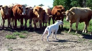Funny Boxer Dog Vs The Cows