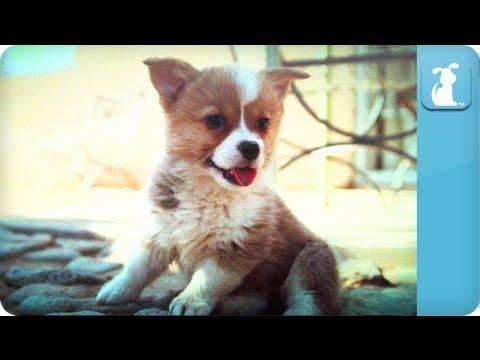 Cute - Play Time For Corgi Puppies