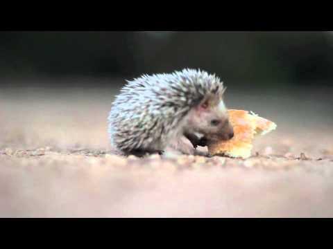 Overweight Hedgehog