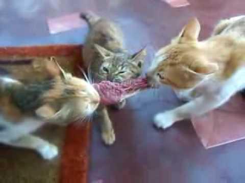 Jokes - Three Cats Fighting Over Food
