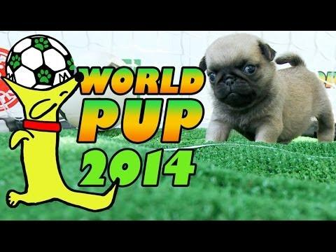 World Cup Soccer Match Between Pug Puppies Vs Bichon Frise Puppies
