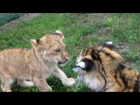 Cute - Lion And Tiger Cub Fight