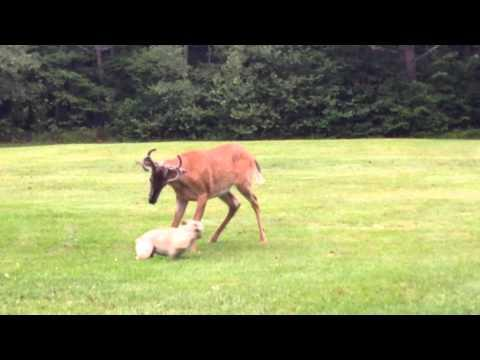 French Bulldog And The Deer Are Best Buds