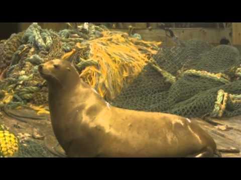 Angry Sea Lion Vs The Fisherman