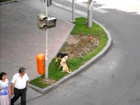 Cute - Dogs Play Fight On The Street