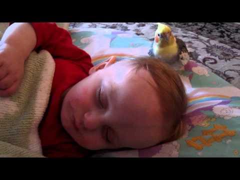 Cute - Cockatiel Bird Takes Care Of Baby