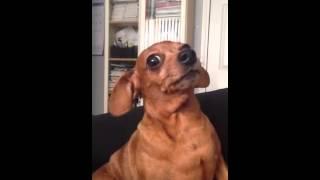 Dog Sounds Like A Duck