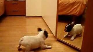 Bulldog Puppy Discovers The Mirror