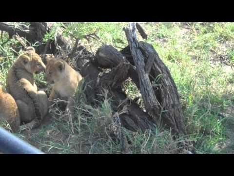 Cute - Lion Cub Looks For Mommy