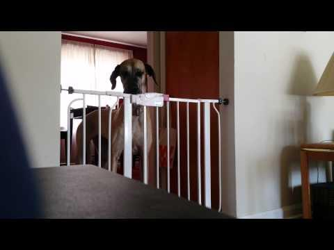 Baby Gate Is Not Great Dane Proof