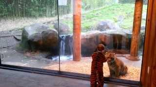 Kid Wearing Tiger Costume Plays With Real Tiger Cub