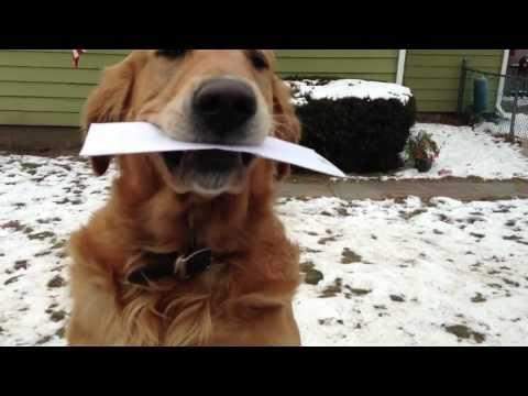 Cute - Dog Picks Up The Mail