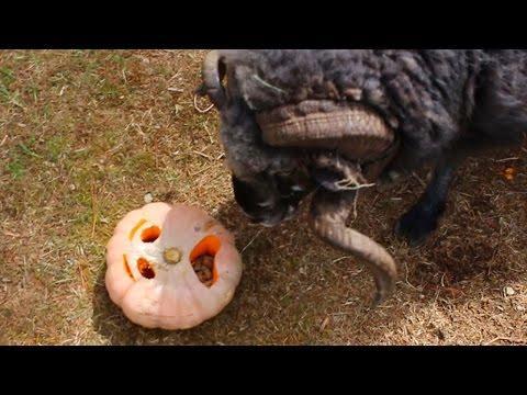 Angry Rams Vs The Pumpkin