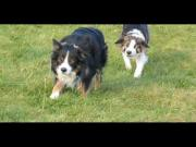 Border Collies Sneaking Up On Other Dogs