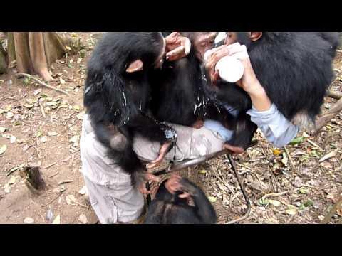 Cute - Baby Chimps Gather For Yogurt