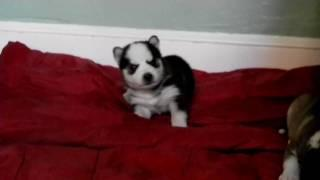 Weeks Old Husky Puppy Trying To Howl