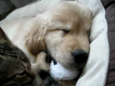 Cute - Cat Grooms The Golden Retriever Puppy