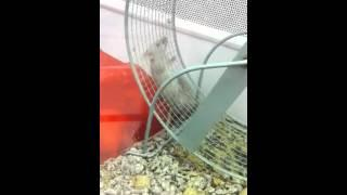 Mouse Doesn't Know How To Use Hamster Wheel FAIL