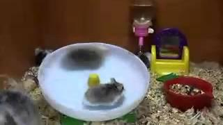 2 Hamsters Inside The Hamster Wheel