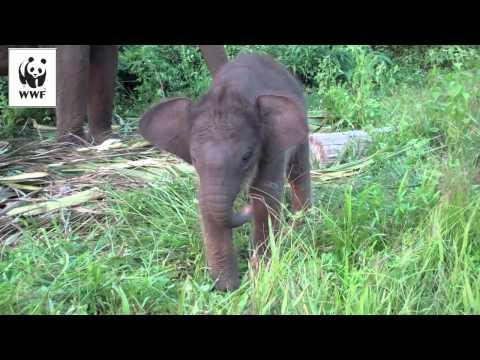 Baby Elephant Learning How To Use Her Trunk