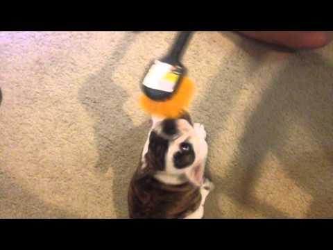 English Bulldog Puppy Loves To Be Brushed