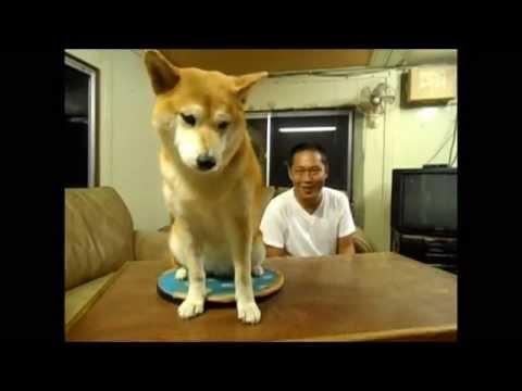 Shiba Inu Dog Is So Mean