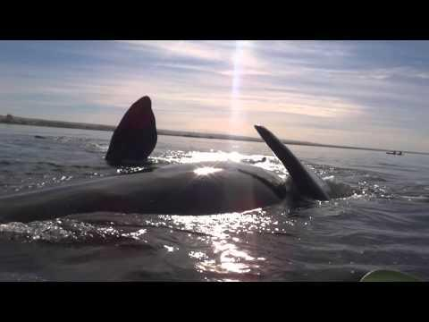 Kayaker Vs The Whale In Argentina