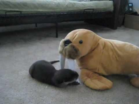 Cute - Baby Otter Plays With Stuffed Walrus