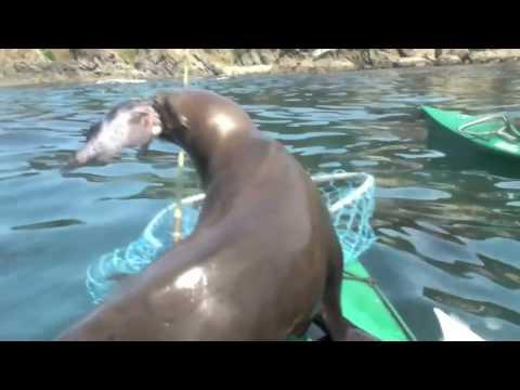 Jokes - Sea Lion Vs The Kayaker