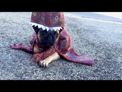 Pug Puppy Looks So Cute In The T-Rex Costume