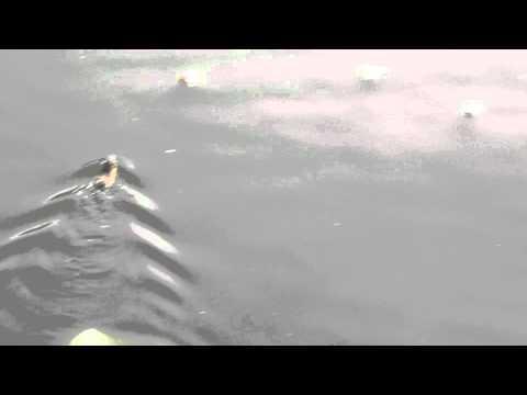 Jokes - Rat Is A Fast Swimmer