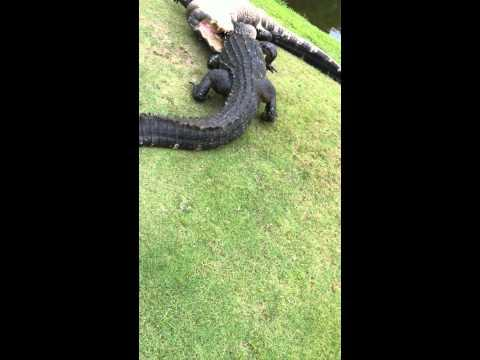 Two Gators Battle It Out On The Golf Course