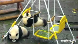 Playful Panda Cubs