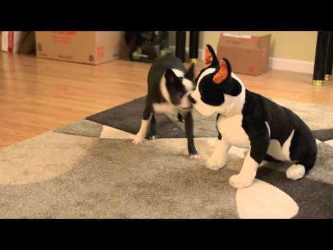 Boston Terrier's Cute Reaction To Stuffed Boston Terrier