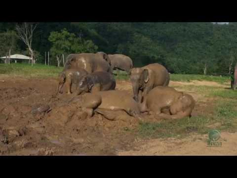 Baby Elephant Loves To Take Mud Bath