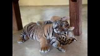 Playful Tiger Cubs