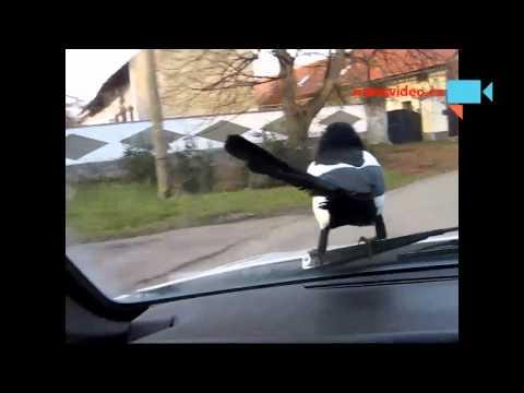 Magpie Goes For A Ride On The Car