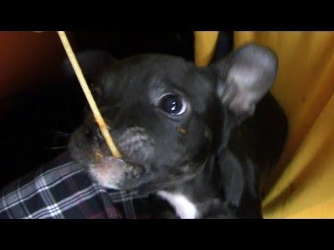 Cute - Puppy Eats Spaghetti