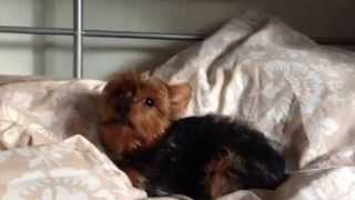 Cutest Yorkie Misses Andy