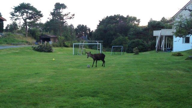 Deer Plays With Soccer Ball In The Backyard