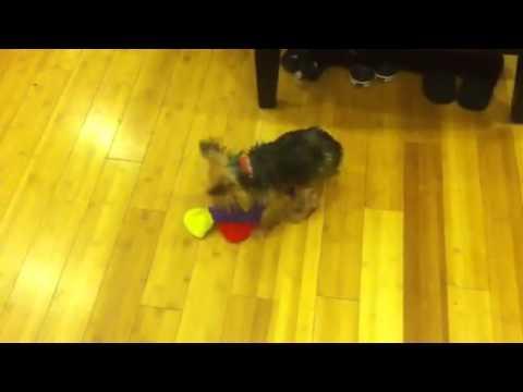 FAIL - Dog Tries To Hump Stuffed Fish Toy