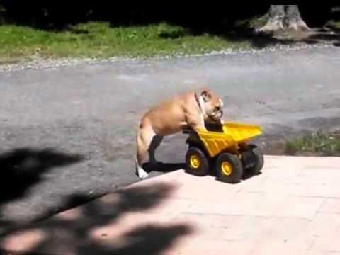 Bulldog Loves To Ride The Construction Truck Toy
